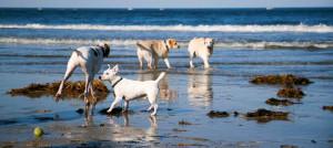 Crane-Beach-Dogs