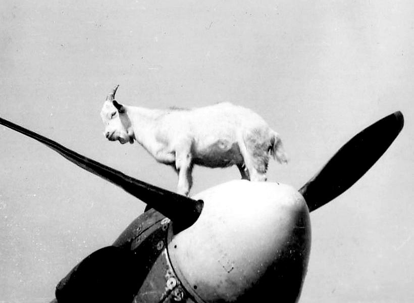 Goat-On-A-Plane